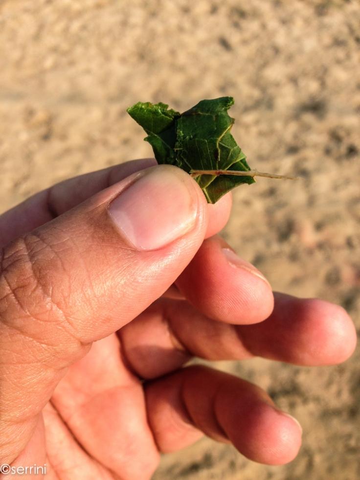 kratom leaf. Better then your cup of joe.