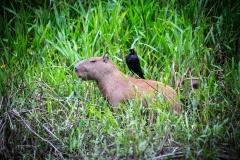 animals_peru_serrini_81
