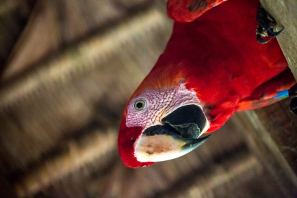 birds_peru_serrini_128
